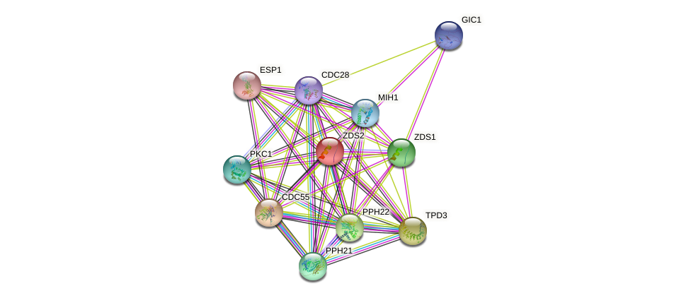 ZDS2 protein (Saccharomyces cerevisiae) - STRING interaction network