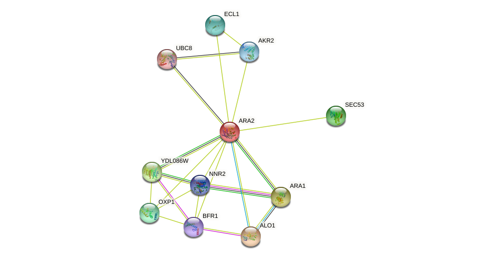 ARA2 protein (Saccharomyces cerevisiae) - STRING interaction network