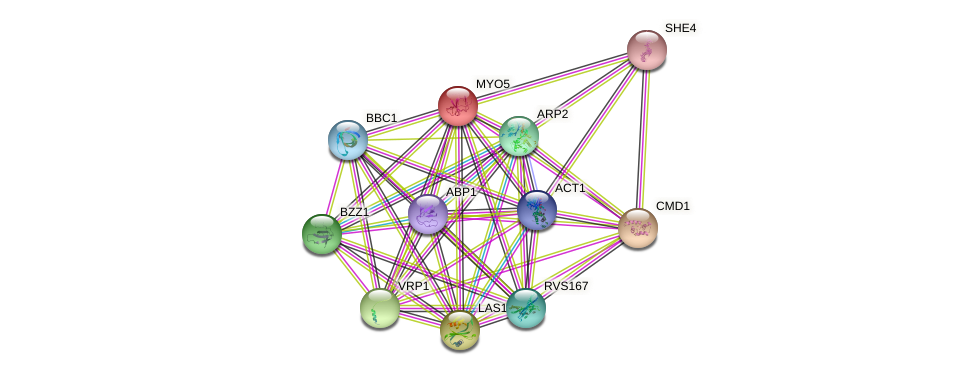 MYO5 protein (Saccharomyces cerevisiae) - STRING interaction network