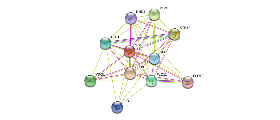 MSS11 protein (Saccharomyces cerevisiae) - STRING interaction network