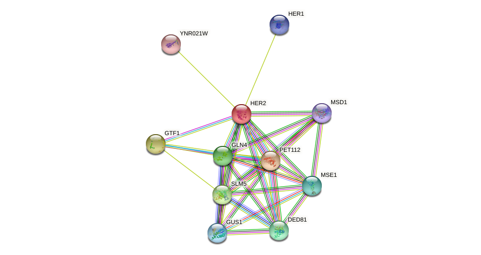 HER2 protein (Saccharomyces cerevisiae) - STRING interaction network