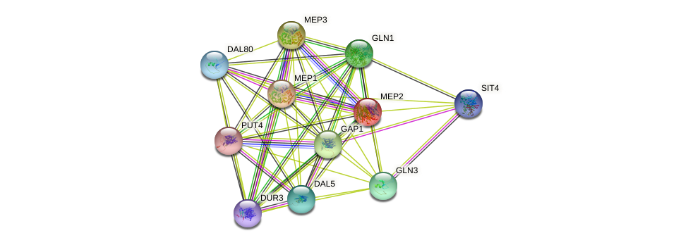 MEP2 protein (Saccharomyces cerevisiae) - STRING interaction network
