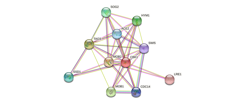 CBK1 protein (Saccharomyces cerevisiae) - STRING interaction network