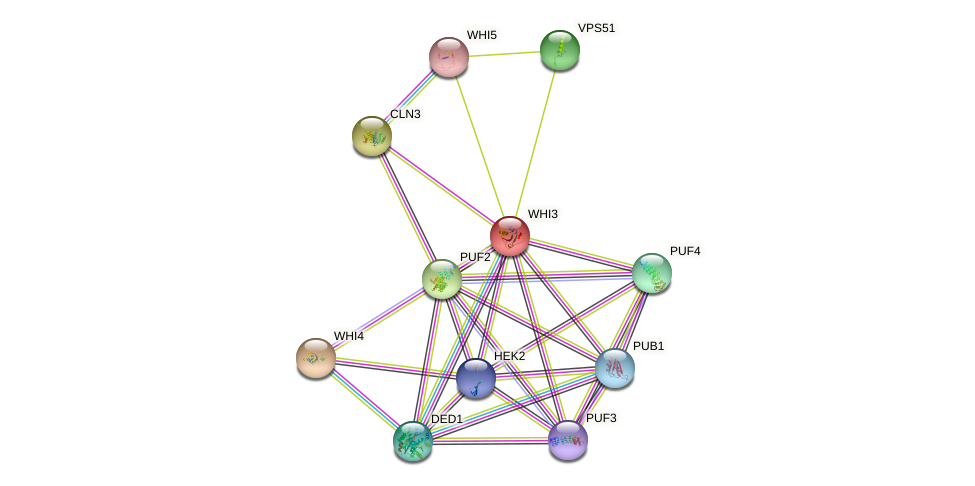 WHI3 protein (Saccharomyces cerevisiae) - STRING interaction network