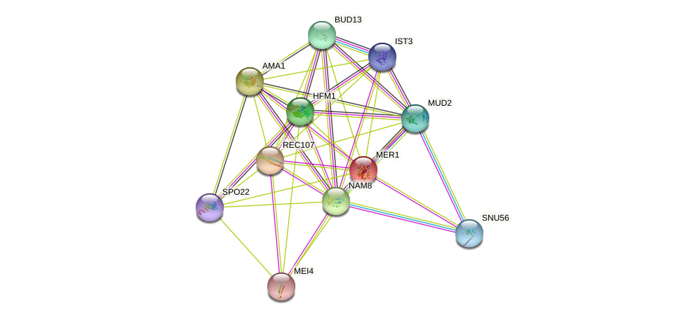 MER1 protein (Saccharomyces cerevisiae) - STRING interaction network