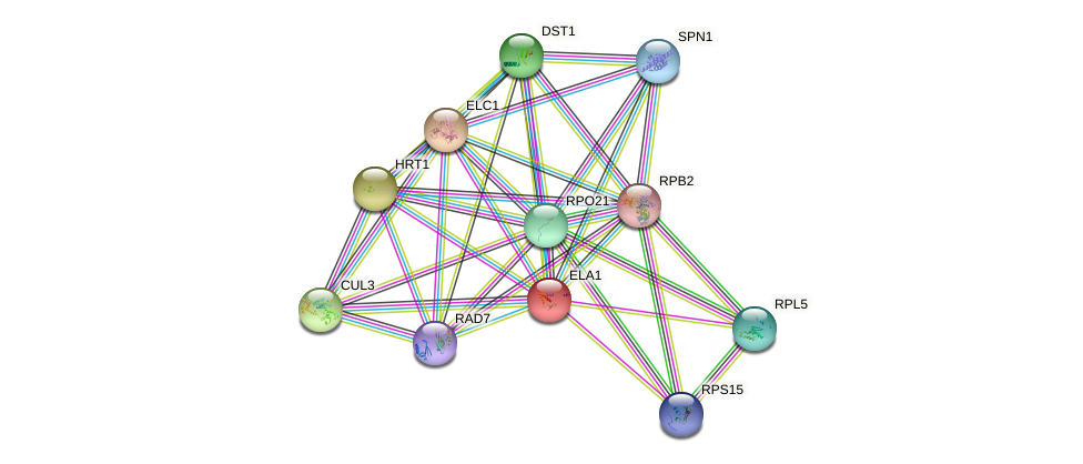ELA1 protein (Saccharomyces cerevisiae) - STRING interaction network