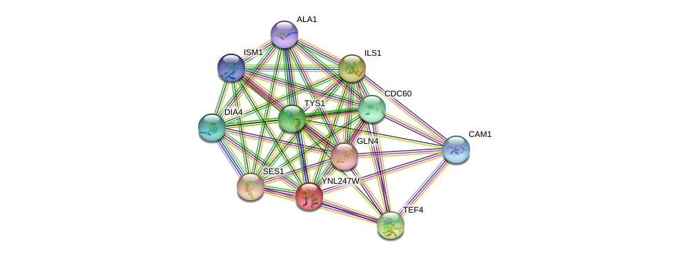 YNL247W protein (Saccharomyces cerevisiae) - STRING interaction network