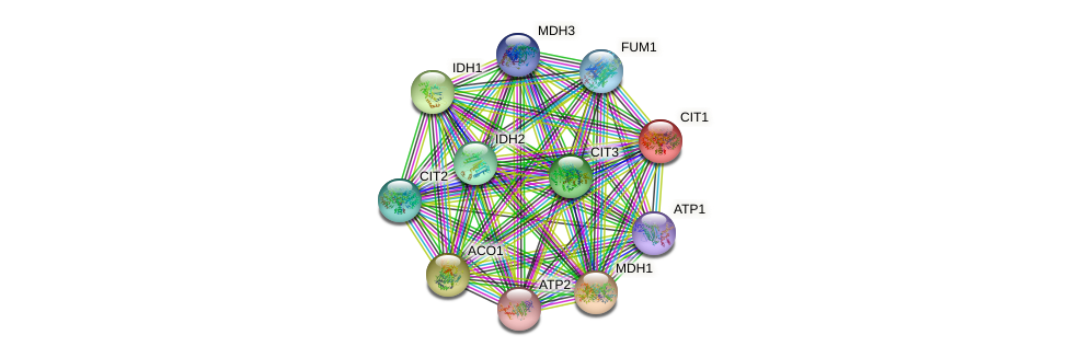 CIT1 protein (Saccharomyces cerevisiae) - STRING interaction network