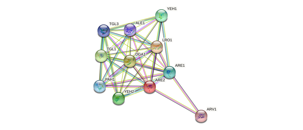 ARE2 protein (Saccharomyces cerevisiae) - STRING interaction network
