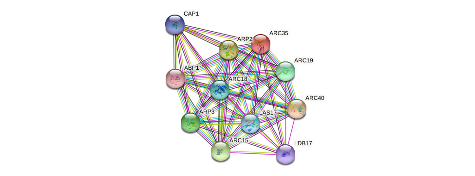 ARC35 protein (Saccharomyces cerevisiae) - STRING interaction network