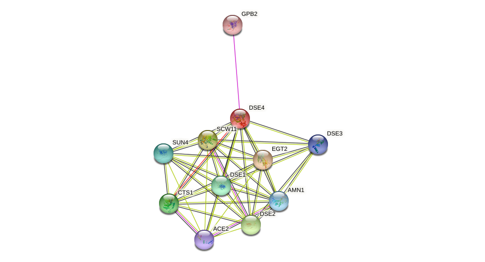 DSE4 protein (Saccharomyces cerevisiae) - STRING interaction network