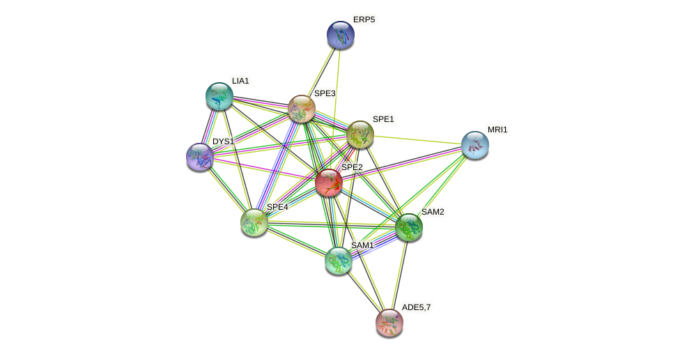 SPE2 protein (Saccharomyces cerevisiae) - STRING interaction network