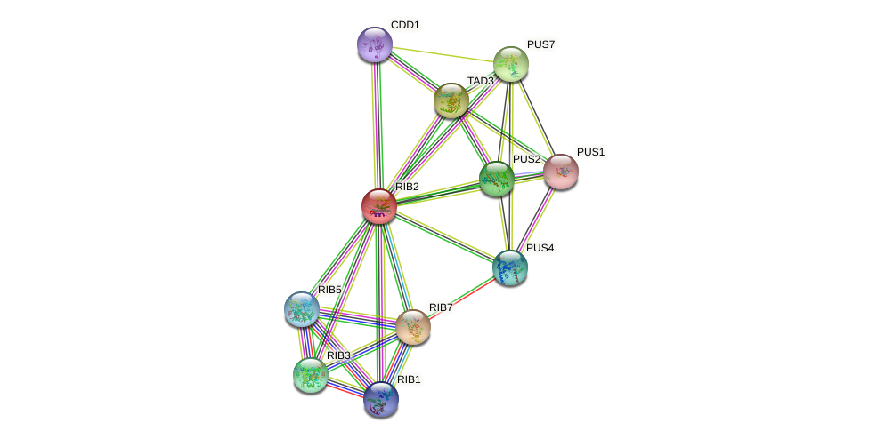 RIB2 protein (Saccharomyces cerevisiae) - STRING interaction network