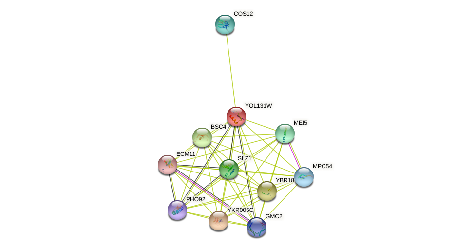YOL131W protein (Saccharomyces cerevisiae) - STRING interaction network