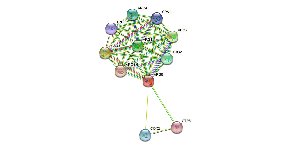 ARG8 protein (Saccharomyces cerevisiae) - STRING interaction network