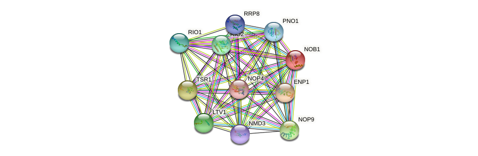 NOB1 protein (Saccharomyces cerevisiae) - STRING interaction network