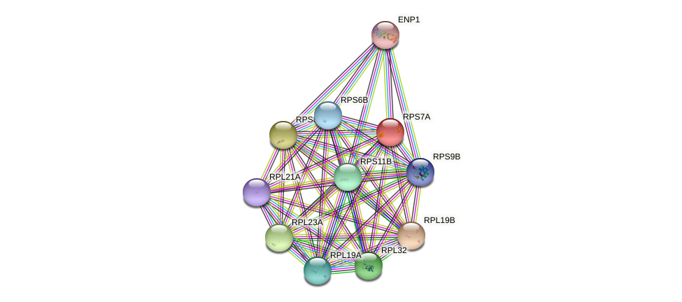 RPS7A protein (Saccharomyces cerevisiae) - STRING interaction network