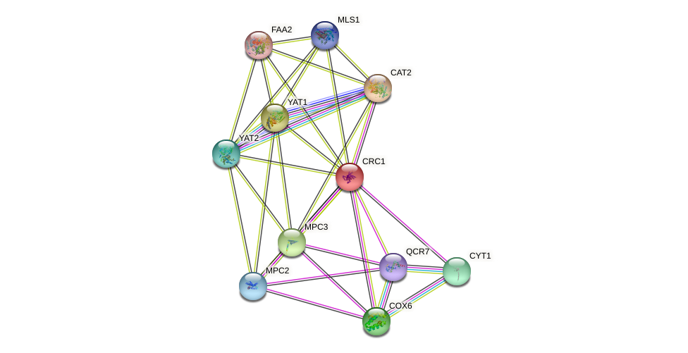 CRC1 protein (Saccharomyces cerevisiae) - STRING interaction network