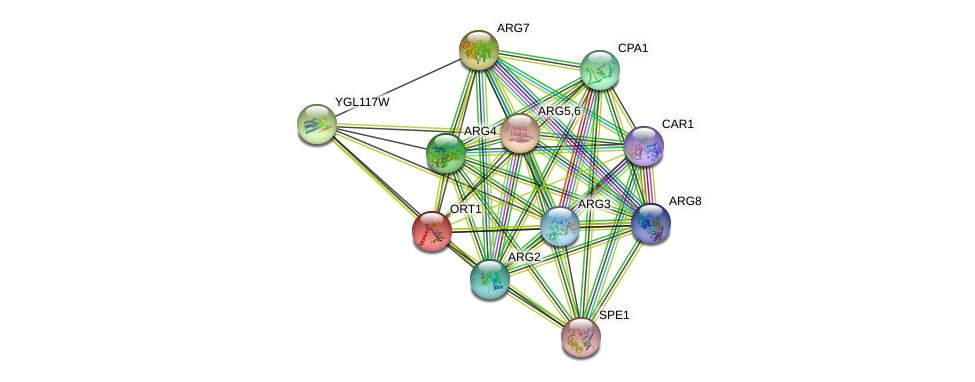 ORT1 protein (Saccharomyces cerevisiae) - STRING interaction network