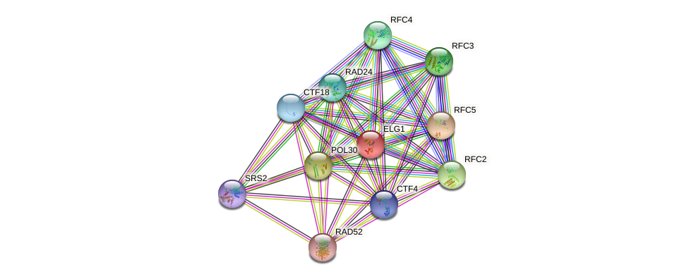 ELG1 protein (Saccharomyces cerevisiae) - STRING interaction network