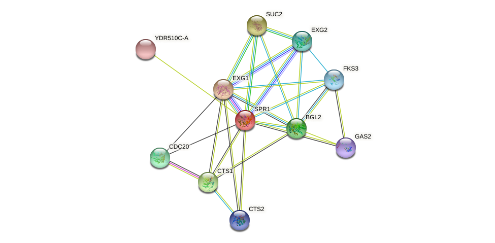 SPR1 protein (Saccharomyces cerevisiae) - STRING interaction network