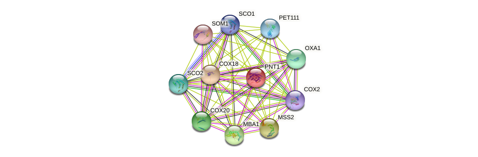 PNT1 protein (Saccharomyces cerevisiae) - STRING interaction network