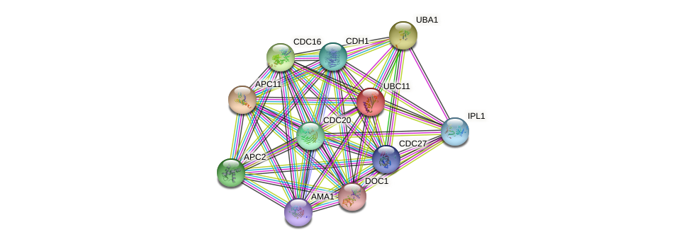 UBC11 protein (Saccharomyces cerevisiae) - STRING interaction network