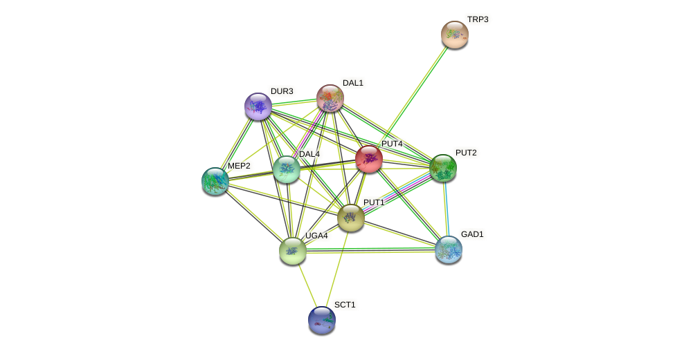 PUT4 protein (Saccharomyces cerevisiae) - STRING interaction network