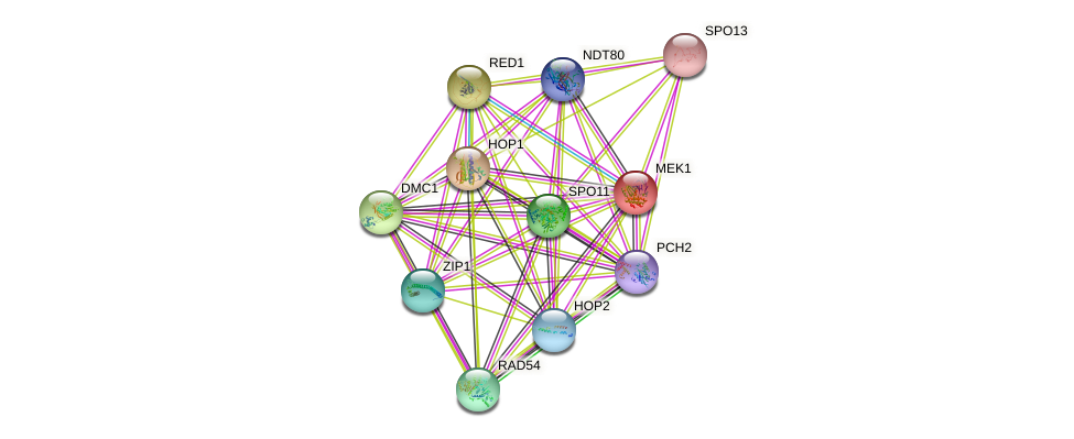MEK1 protein (Saccharomyces cerevisiae) - STRING interaction network