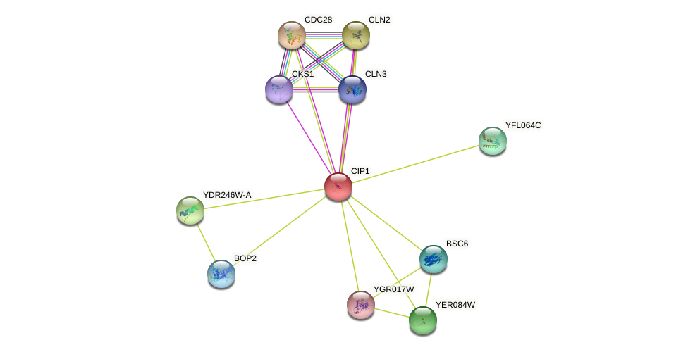 CIP1 protein (Saccharomyces cerevisiae) - STRING interaction network