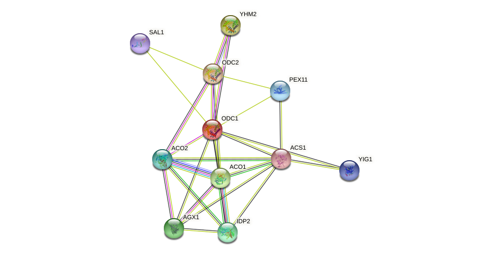 ODC1 protein (Saccharomyces cerevisiae) - STRING interaction network