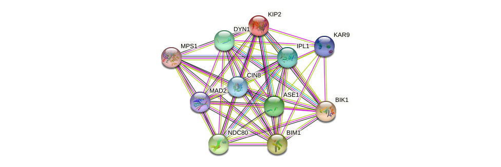 KIP2 protein (Saccharomyces cerevisiae) - STRING interaction network