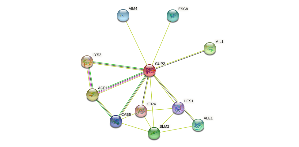 GUP2 protein (Saccharomyces cerevisiae) - STRING interaction network