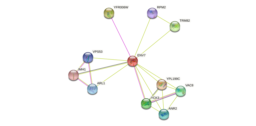 ENV7 protein (Saccharomyces cerevisiae) - STRING interaction network