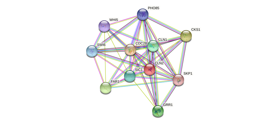 CLN2 protein (Saccharomyces cerevisiae) - STRING interaction network