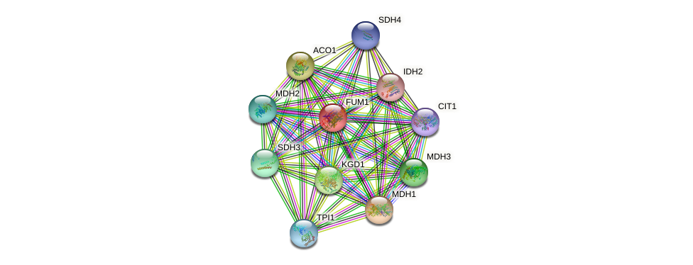 FUM1 protein (Saccharomyces cerevisiae) - STRING interaction network