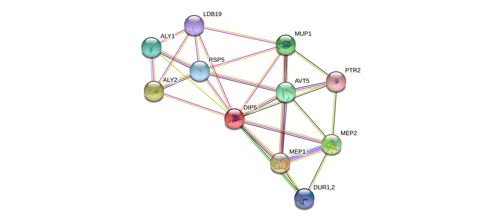DIP5 protein (Saccharomyces cerevisiae) - STRING interaction network