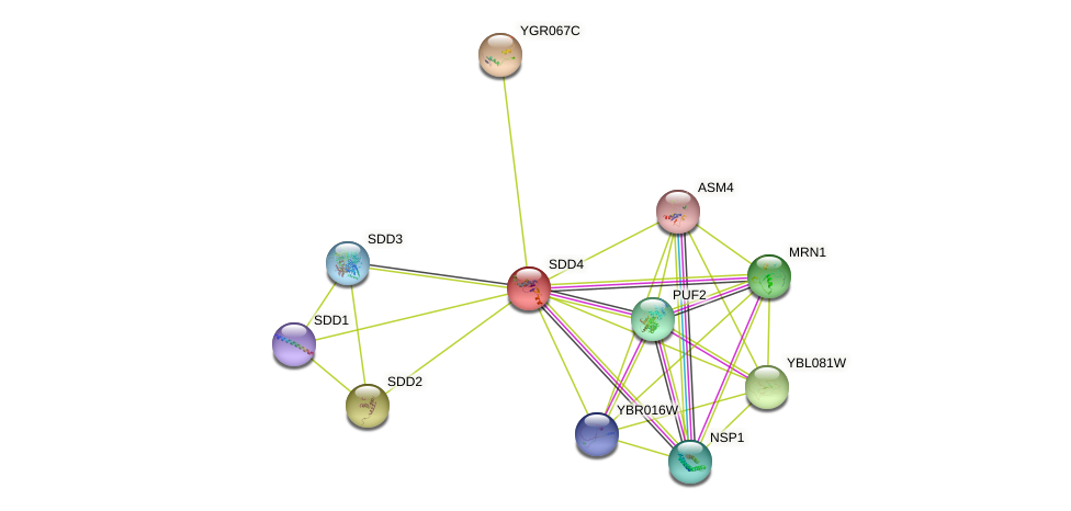 SDD4 protein (Saccharomyces cerevisiae) - STRING interaction network