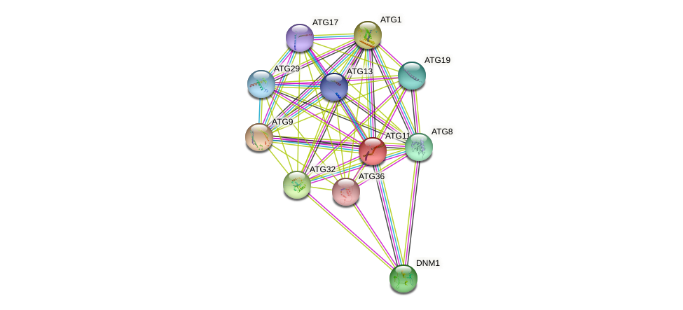 ATG11 protein (Saccharomyces cerevisiae) - STRING interaction network