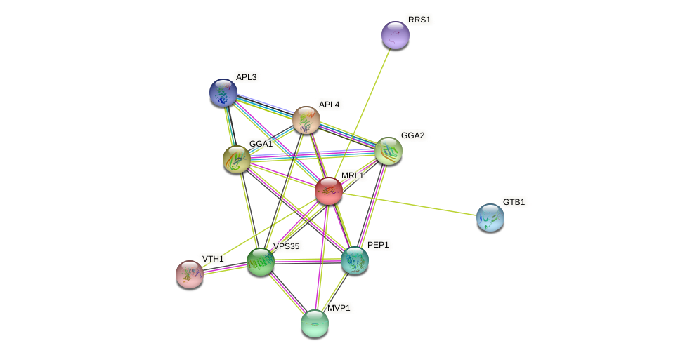 MRL1 protein (Saccharomyces cerevisiae) - STRING interaction network