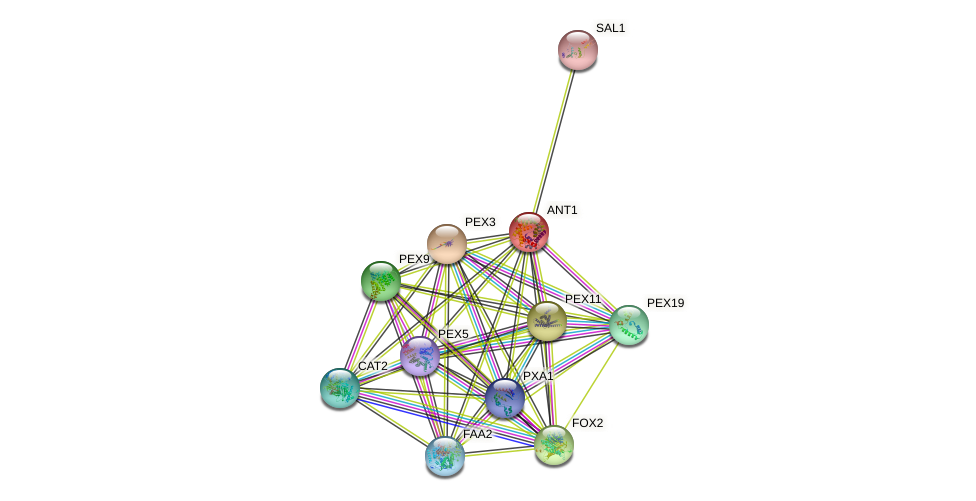 ANT1 protein (Saccharomyces cerevisiae) - STRING interaction network