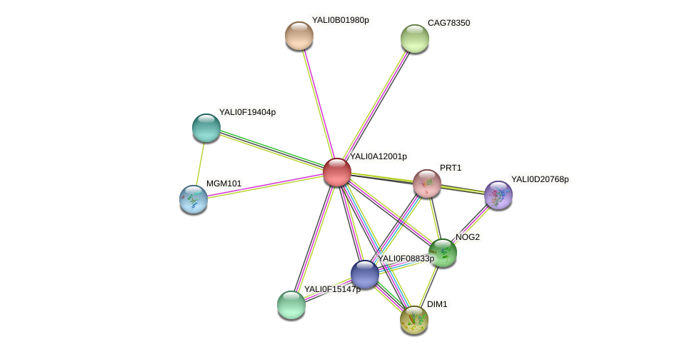XP_499998.1 protein (Yarrowia lipolytica) - STRING interaction network