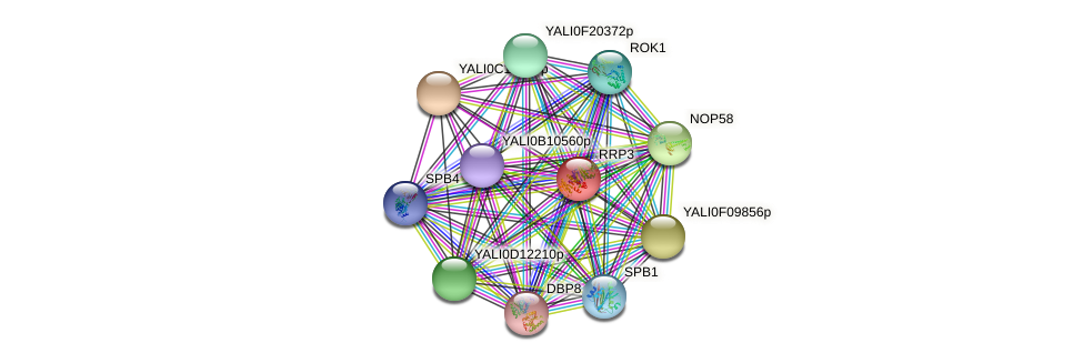 RRP3 protein (Yarrowia lipolytica) - STRING interaction network