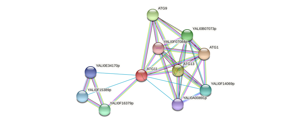 ATG11 protein (Yarrowia lipolytica) - STRING interaction network