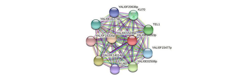 XP_500889.1 protein (Yarrowia lipolytica) - STRING interaction network
