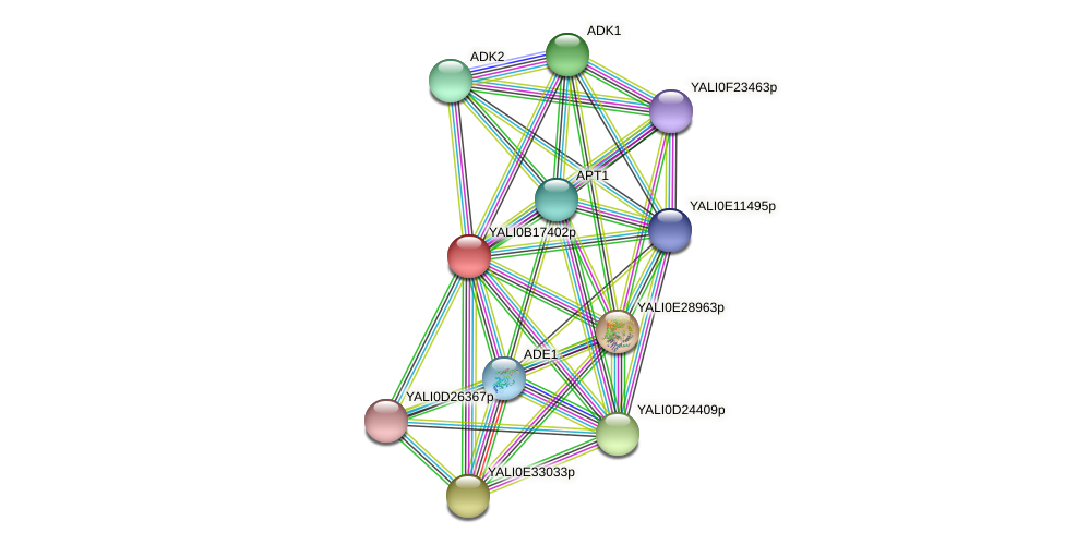 XP_501015.1 protein (Yarrowia lipolytica) - STRING interaction network