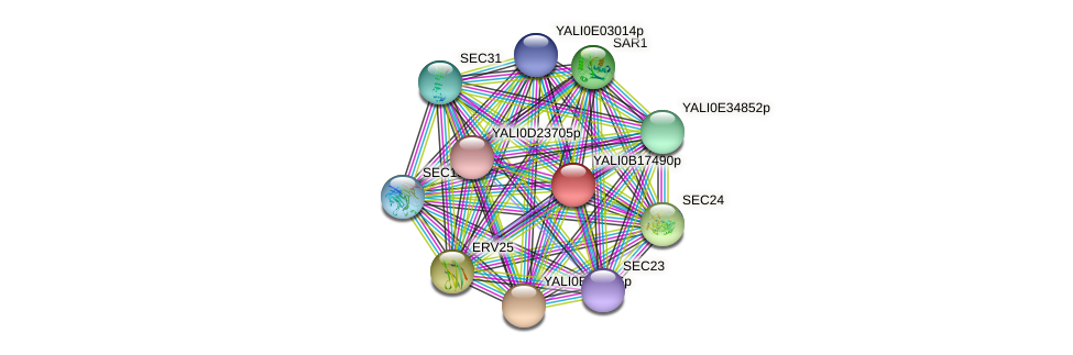 XP_501019.1 protein (Yarrowia lipolytica) - STRING interaction network