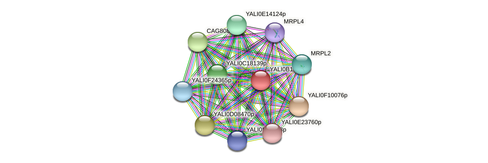 XP_501028.1 protein (Yarrowia lipolytica) - STRING interaction network