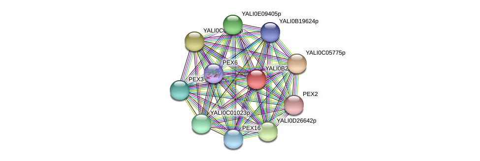 XP_501231.1 protein (Yarrowia lipolytica) - STRING interaction network