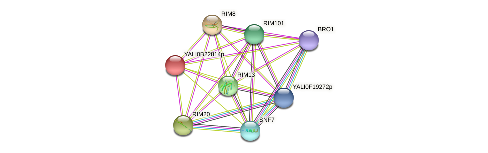 XP_501238.1 protein (Yarrowia lipolytica) - STRING interaction network
